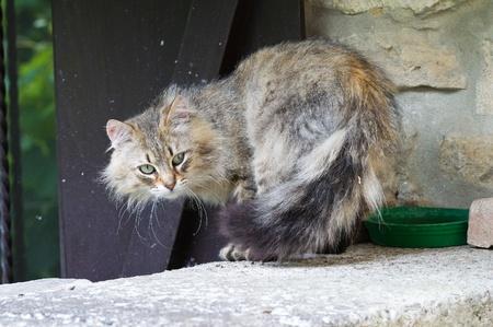gato atigrado: Tabby gato