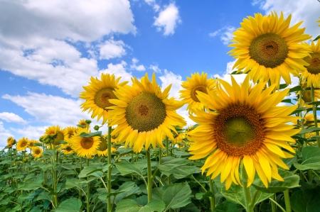 helianthus annuus: Sunflower field.