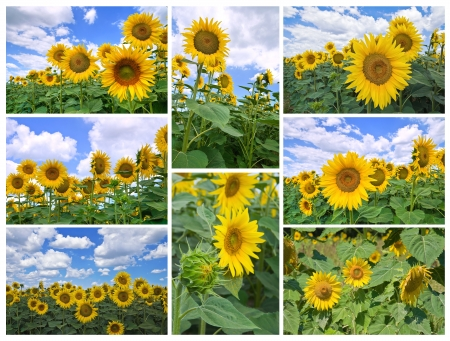 Sunflower collage. photo