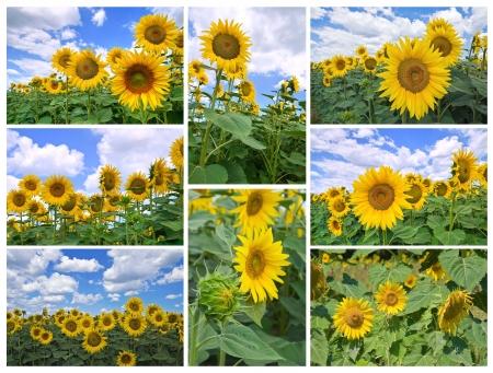 Sunflower collage. photo