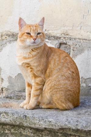 gato atigrado: Naranja atigrado gato en la escalera a paso