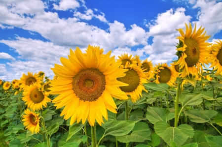 Sunflower field. Stock Photo - 16823047