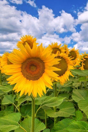Sunflower field. Stock Photo - 16921251