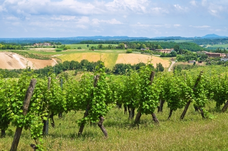 emilia romagna: Vineyard. Stock Photo