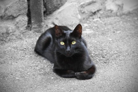 felis silvestris catus: Black cat.