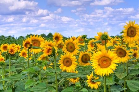 Sunflower field. Imagens - 18133638