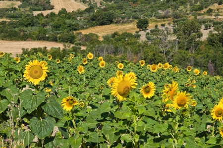 helianthus annuus: Sunflower field.  Stock Photo