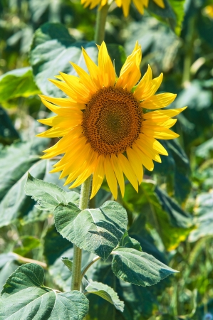daunia: Sunflower field.  Stock Photo