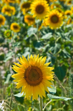 daunia: Sunflower field   Stock Photo