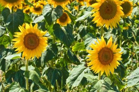 daunia: Sunflower field   Stock Photo