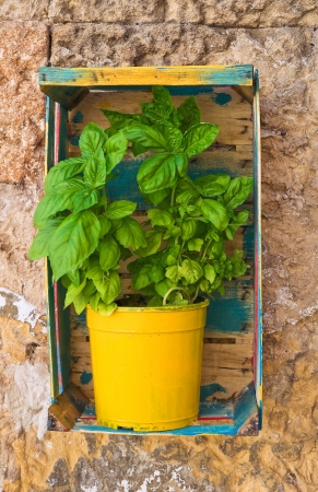 Basil in flowerpot  photo