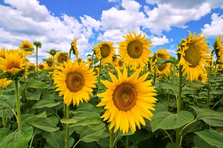Sunflower field. photo