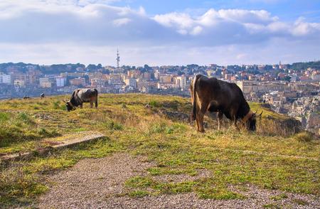 urbanistic: Cows grazing.