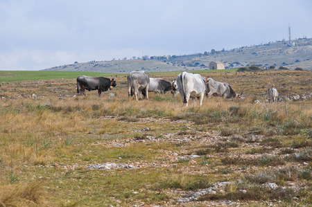 grazing: Cows grazing.