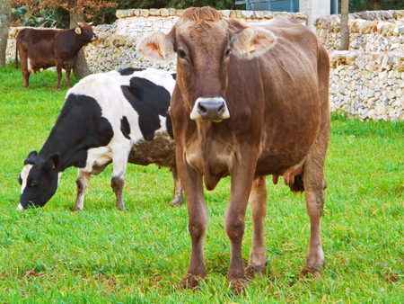 piebald: These are cows grazing in a countryside.