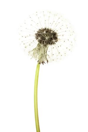 blowball: Dandelion Flower Isolated on White Background. Summer Blowball