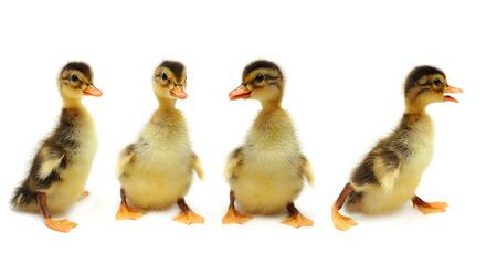 Ducklings - creative group 版權商用圖片 - 66689602