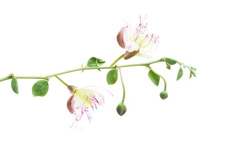 Planta de alcaparras aislada sobre fondo blanco. Rama de Capparis spinosa con flores, hojas y capullos