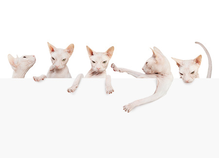 Many kittens don sphynx. Hairless cat with paper banner card isolated on white background