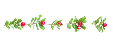 Christmas holly berries and green leaves garland isolated on white background