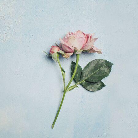 Delicate flower rose on blue card background 版權商用圖片
