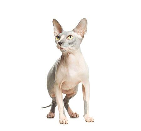 Cat don sphynx isolated on white background. Hairless kitten