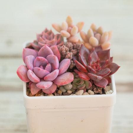 Vivid red and purple succulent echeveria in white pot
