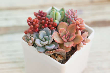 Beautiful red, pink and orange succulents on white blurred background