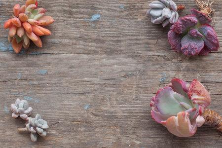 Succulent echeveria plants composition on vintage wooden flatlay background