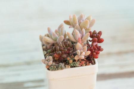 Sedum succulent houseplants in white pot