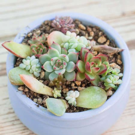 Beautiful colorful succulent echeveria flower plants, mini garden in blue pot on white background