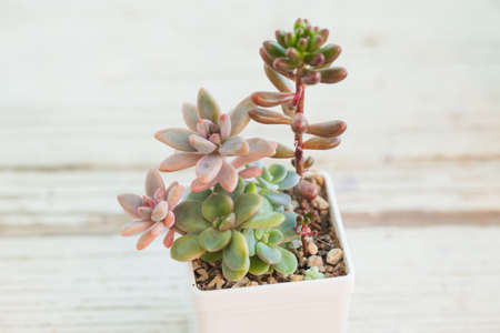Green and pink succulent plants on white background 版權商用圖片