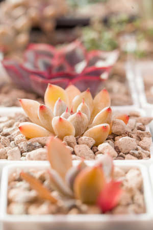 Succulent Echeveria Tolimanensis in pot
