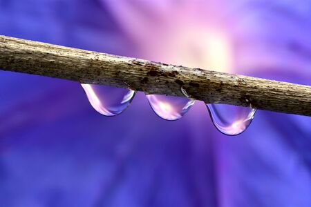Branch with three drops. Diffuse background of a purple flower. Stock Photo