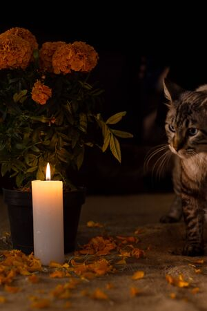 Day of the dead, Cat experiencing new surroundings next to a pot with cempasuchil flower, adorned with lit candle. Diffuse background
