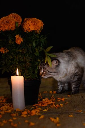 Day of the dead, Cat experiencing new surroundings smelling a pot with cempasuchil flower, adorned with lit candle. Diffuse background