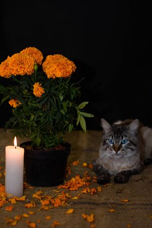 Day of the dead, Cat on the prowl of a pot consisting of a cempasuchil flower, adorned with lit candle. Diffuse Background