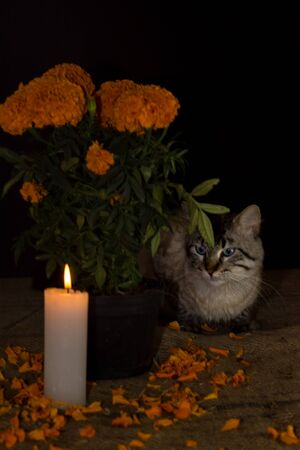Day of the dead, Cat hiding behind the pot with cempasuchil flower, adorned with candle. Diffuse background