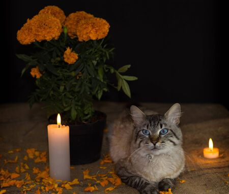 Day of the dead, pot with cempasuchil flower, aside from domestic cats, adorned with candles. diffuse background