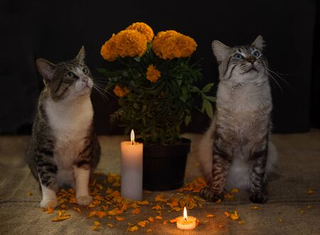 pot with cempasuchil flower, domestic cats on the sides, with ornate candles.