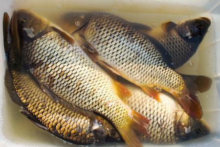 Carp Breeding | Carp Fish In Hands For Sale Fish Farming Farm For The Breeding