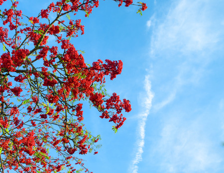 rowanberry: Autumn mountain ash against the background of the blue sky, a natural look Stock Photo