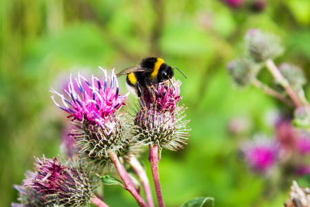 bumblebee on a thistle flower, the species of bumblebees pollinating a thistle inflorescence Stock Photo