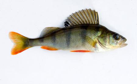 淡水魚のスズキが分離された、広範囲にわたる頻繁なマイニング漁師です。 写真素材