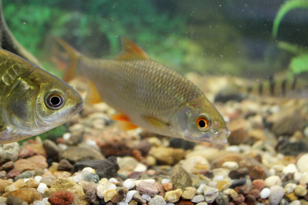 gudgeon: Carp, roach, gudgeon in the aquarium fresh water. The image can be used as educational material
