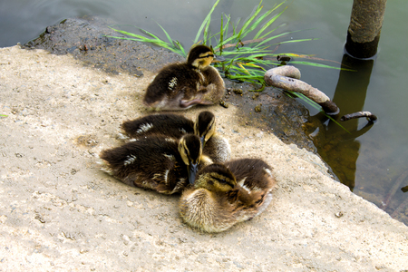 little ducklings summer basking on the banks of the river