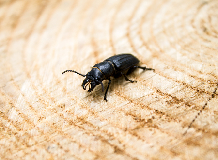 beetle barbel,on wood, it can be used for design, a collage Stock Photo