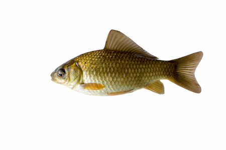 The gold crucian is isolated on a white background Stock Photo