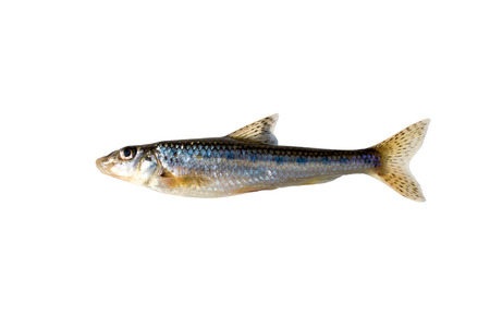 gudgeon on a white background, fresh water 写真素材