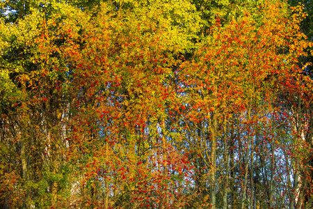 Bright mountain ash on a tree. Background image.Bunches of ripe mountain ash on a tree in autumn forest